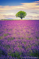 lavender at sunset (Prochasson Frdric) Tags: lavender field violet blooming azur square france nobody sunnylandscape lavendin herbal aroma flower alpesdehauteprovence fragrant summer provence light fragrance valensole picturesque abundance countryside lavande purple lines scented rows french provencealpescote colorful blue plant beauty outdoors scenic beautiful magenta scent aromatherapy landscape