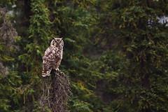 Great Horned Owl (blkwolf1017) Tags: greathornedowl owl haulroad fairbanks alaska avian spruce canon50d sigma150500mm