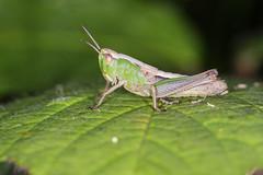 Green on Green (DavidHowarthUK) Tags: woodland colchester essex july 2016 meadowgrasshopper chorthippusparallelus