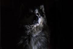 Portrait of a Puppy (vadenet) Tags: malamute dog alaskan