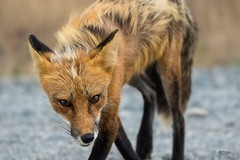 Stalker (T0nyJ0yce) Tags: redfox wild animals predator foxes slyfox closeencounter intense stare eyecontact wildlife mammals canine fox vulpesvulpes nocrop 150mm canon7dmarkii tamron150600