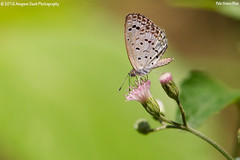 Pale Grass Blue!! (_J1C6273) (Anupam Dash Photography) Tags: anupam anupamdashphotography anupamdash adult aplusphoto beauty canon colors canon500mmf4 color clouds canon1dmarkiv colourartaward nature naturesfinest naturephotography north wildlife wild wildlifephotographer water butterfly palegrassblue