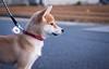 Yotsuba365 Day57 (Tetsuo41) Tags: dog shibainu yotsuba