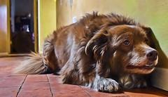 Sturdy Shizandra (TOPPED OUT AT 102'F TODAY!!!) Tags: dog animal female muscular fast strong sturdy odc 1722 shizandra chocolatebordercolliemix inthestyleofgeorgiaokeeffe