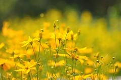 gelbe Pracht (nirak68) Tags: deutschland blossom gelb juli blten ger eutin 191366 schleswigholsteinkreisostholstein lgs2016 2016ckarinslinsede landesgartenschaueutin substategardenshow kulturgrten