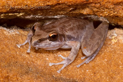 Chattering Rock Frog (Litoria staccato) (Brendan Schembri) Tags: chattering rock frog litoria staccato cave kimberley endemic australia wildlife brendanschembri