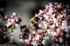 FAN_2001.jpg (Flemming Andersen) Tags: nature insect denmark bee dk bi jelling regionsyddanmark