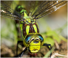 My... what big eyes you have !!! (kevingrieve610) Tags: nature green flickr outdoor depth colourful canon 6d ef100mm