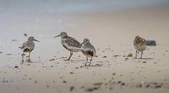 Three Dunlin and a Sanderling (Osgoldcross Photography) Tags: bird birds group wader waders feeding summer shore shoreline sand dunlin water suffolk rspb rspbminsmere nikon nikond810 raw nature naturalhistory beak feathers tail legs sanderling