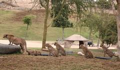 Cheetah - Addison and 5 of the 6 pack of cubs (Pix.by.PegiSue>Thx over 4M+ views! Click on Albums) Tags: pixbypegisue animal animals africa animalesexticos canon california cuteanimals desanimauxexotiques endangered exoticanimals nature ngc nationalgeographic sandiegozoosafaripark sdzsafaripark safari sandiego sandiegozooglobal visitsandiego visitthezoo wap wildlife wildanimalpark wwwflickrcomphotospixbypegisue cheetah cheetahs cats feline gato bigcats felines babyanimals californiababyanimals addison cub cubs flickrbigcat exoticcats bigcat felinos chat chatte losgrandesfelinos flin cutecat gupard guepardo  duma wildcat felinosexticos flinsexotiques exoticfelines threatened felids felidae