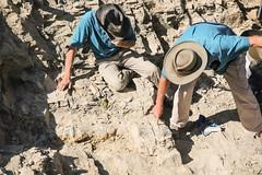 Digging Dinosaurs (wyojones) Tags: wyoming paleontologists dinosaurbone mudstone quarries quarry wyomingdinosaurcenter cretaceous cloverlyformation warmspringranch thermopolis bone dig dinosaur