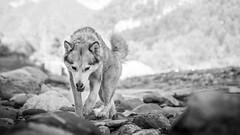 Laska (camel.arnaud) Tags: chien dog husky malamute noir blanc noiretblanc black white blackandwhite bw nb rivire river