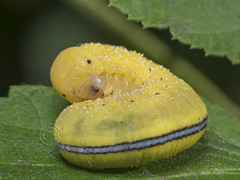 6437 Retitled - Willow Sawfly, Cimbex luteus (Pete.L .Hawkins Photography) Tags: elm sawfly larvae cimbex americana