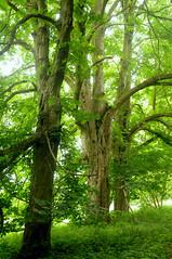 Im Naturschutzgebiet Zerninseesenke - Rosskastanien (Aesculus hippocastanum); Usedom b (234) (Chironius) Tags: rosids malvids sapindales seifenbaumartige sapindaceae seifenbaumgewchse hippocastanoideae rosskastaniengewchse acer ahorn baum bume tree trees arbre  rbol arbres  rboles albero  rvore aa boom trd
