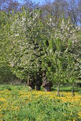 ckuchem-1221 (christine_kuchem) Tags: streuobstwiesenweg streuobstwiese streuobst wiese obstbaum frhling frhjahr blte bltezeit obstbume
