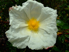 Cistus ladanifer 'bennet's white' (yewchan) Tags: flower flowers garden gardening blooms blossoms nature beauty beautiful colours colors flora vibrant lovely closeup cistus cistusladanifer rockrose