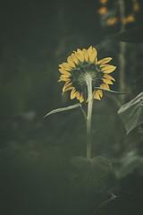 """On the Turning Away"" (Luigi.glpy) Tags: flower sunflower girasole fiori bokeh giallo yellow"