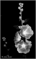 Just Bloomed I (lukiassaikul) Tags: creativephotography nature flora flowers hollyhocks gardenflowers monochrome bw ultrahighcontrast