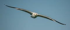Glide (andre diener) Tags: seagull gull avian bif birdinflight