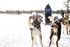 Inari (fernando garca redondo) Tags: finland inari artic finlandia trineo rtico