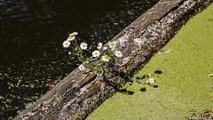 Yin Yang Flowers (Emil de Jong - Kijklens) Tags: kijklensnl yinyang yin yang bloem flower water kroos balk log dam margriet margrieten daisy