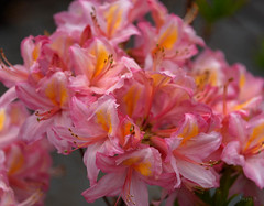 All Pink and a Touch of Apricot (Jocey K) Tags: newzealand christchurch flower azalea