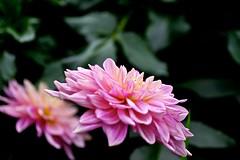 Dahlia brothers (tez-guitar) Tags: summer flower green pentax blossoms petal bloom machida pentaxart machida