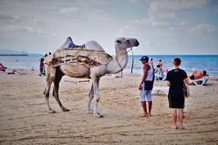 well... the camel (Sinivaki) Tags: camel     beach