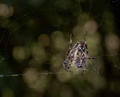 Keeper of the night (nickneykov) Tags: nikond750 nikon d750 tamron 90mm macro spider