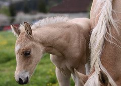 Safe Close to Mom (winkler.roger) Tags: animal domesticanimal horse americanquarterhorse foal filly
