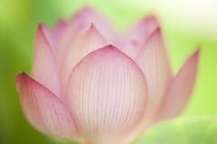 20160803家の蓮の花7380 (K.masao) Tags: lotusflowers flowers nature japanmasaokatayama