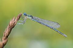 Platycnemis pennipes (Prajzner) Tags: platycnemispennipes nikond7100 nature nikon bokeh naturallight sigma105mmmacro sigma subcarpathia odonata whiteleggeddamselfly damselfly poland prajzner