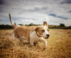 Playing in the field 10th Aug 16 h (Odd Jim) Tags: dogs canon6d 35mm prime beagle dalmatian pets animal field 85mm pooches mansbestfriend