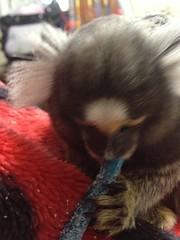 Spanky Playing (Todd Money) Tags: monkey spanky marmoset pet exotic animal