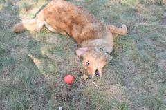 DSC_0175 (ghoulia) Tags: goldendoodle goldenretriever poodle labradoodle labrador rovercom dogvacay