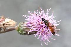Wasp and creeping thistle (Henri Koskinen) Tags: ichneumon suspiciosus pistiinen wasp virtasalmi 07082016