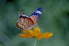 Butterfly - painted lady (joka2000) Tags: paintedlady