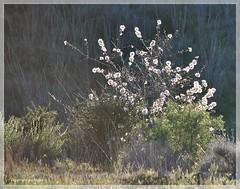 Sanfte Natur * Soft nature * Naturaleza suave *   . DSC_1045-001 (maya.walti HK) Tags: rbolesdealmendra 180916 2013 almondblossoms almondtrees blten blossoms copyrightbymayawaltihk espaa flickr flor flordealmendro mandelbaum mandelblten natur naturaleza nature nikond3000 sanft soft spain spanien suave