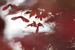 Broken Wings (crowfoto) Tags: acer red rot ahorn leaf blatt fly fall fallen falling autmn deepshit broken wings brokenwings poetic seed samen saat feeling gefhl maple wow awesome