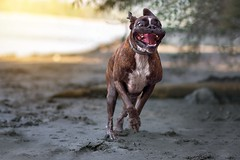 Last day of summer (Tams Szarka) Tags: dog pet animal puppy outdoor nature river tongue boxer boxerdog summer