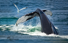 Whale of a tail (betty wiley) Tags: bird gull massachusetts tail cape whale cod bettywileyphotography