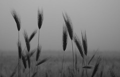 last rains (nikdanna) Tags: nature rain blackwhite pentax natura ear pioggia interno7 spiga nikdanna