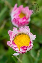 Daisy Bellis Perennis (108) (PHH Sykes) Tags: uk flower macro up rose scotland close united kingdom daisy bellis perennis woundwort marys