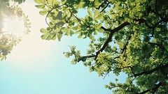 Canopy (andersdenkend) Tags: sky sun white cinema tree green nature leaves germany glare fuji widescreen fujifilm canopy cinematic 169 blätter freinsheim baumkrone natureycrap xpro1 vsco fujinonxf27mmf28