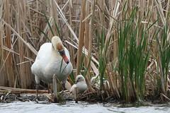 Mute Swan - May-31-2015 (25-1) (JPatR) Tags: bird nature illinois spring swan wildlife may muteswan 2015 500mmf4 exnermarsh canon7dmarkii
