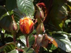 Eine Rose öffnet sich... (fotoculus) Tags: flowers flores fleur germany deutschland flora blossoms rosa blumen alemania rosen allemagne germania alemanha duitsland schleswigholstein blüten helgoland