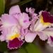 Lc. Orchid Affair – Alex Nadzan