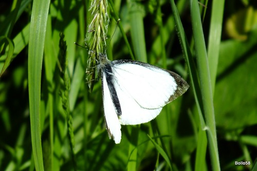 Large White Butterfly - Home Farm Marsh