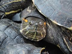 tortugas (menchuela) Tags: españa 2015 tortugas atocha menchuela