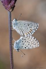 Pseudophilotes panoptes (jojesari) Tags: butterfly galicia mariposa suso orense 9513 volvoreta pseudophilotespanoptes nikon105vr apareandose jojesari serradaenciaedalastra ar516g
